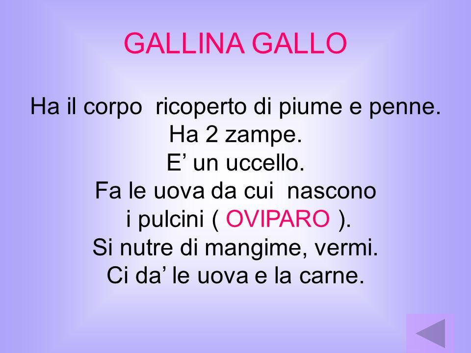 GALLINA GALLO Ha il corpo ricoperto di piume e penne. Ha 2 zampe.