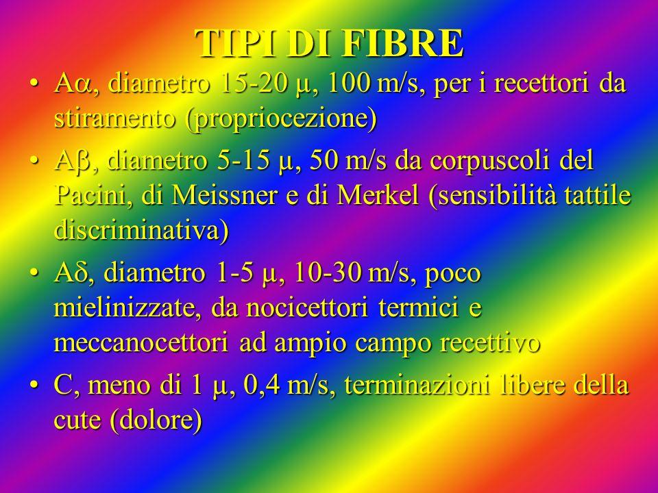 TIPI DI FIBRE Aa, diametro 15-20 µ, 100 m/s, per i recettori da stiramento (propriocezione)
