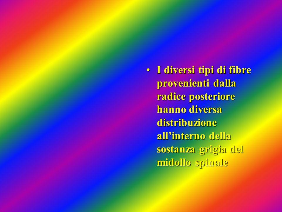 I diversi tipi di fibre provenienti dalla radice posteriore hanno diversa distribuzione all'interno della sostanza grigia del midollo spinale