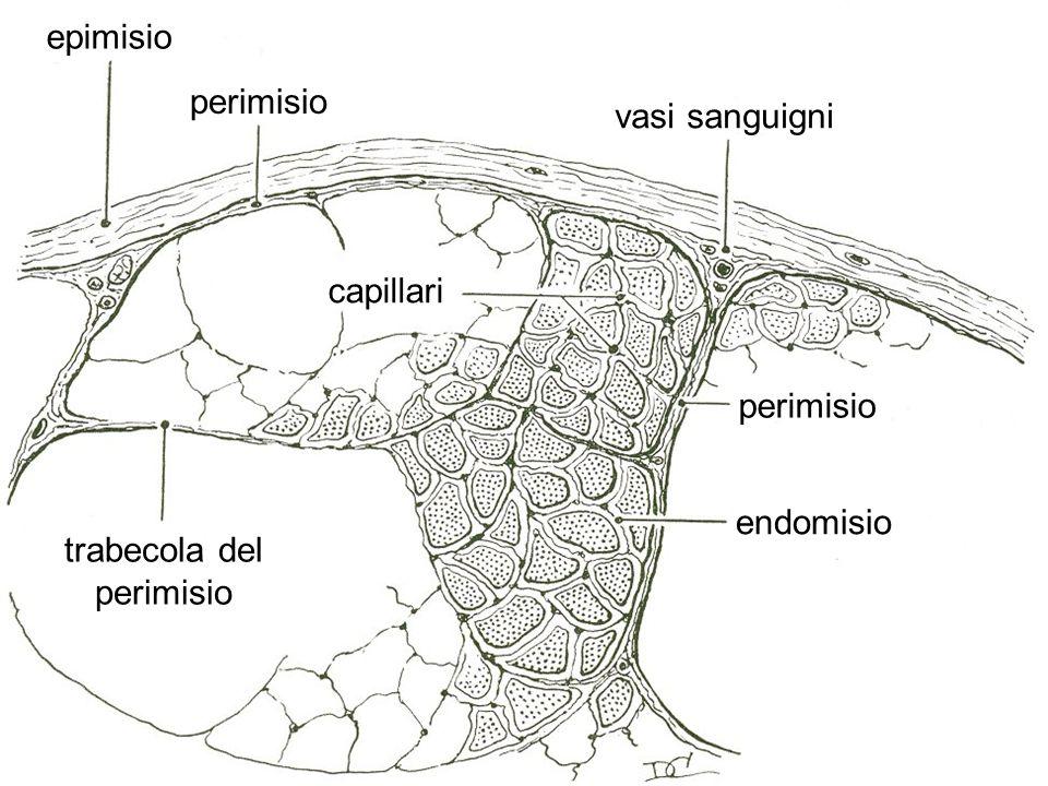 epimisio perimisio vasi sanguigni capillari endomisio trabecola del