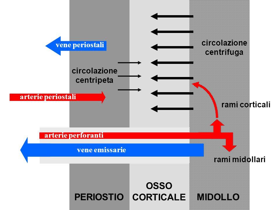 PERIOSTIO OSSO CORTICALE MIDOLLO circolazione vene periostali