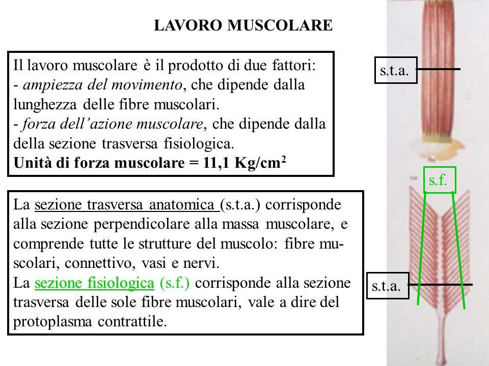 LAVORO MUSCOLARE Il lavoro muscolare è il prodotto di due fattori: - ampiezza del movimento, che dipende dalla.