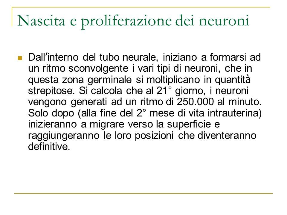 Nascita e proliferazione dei neuroni