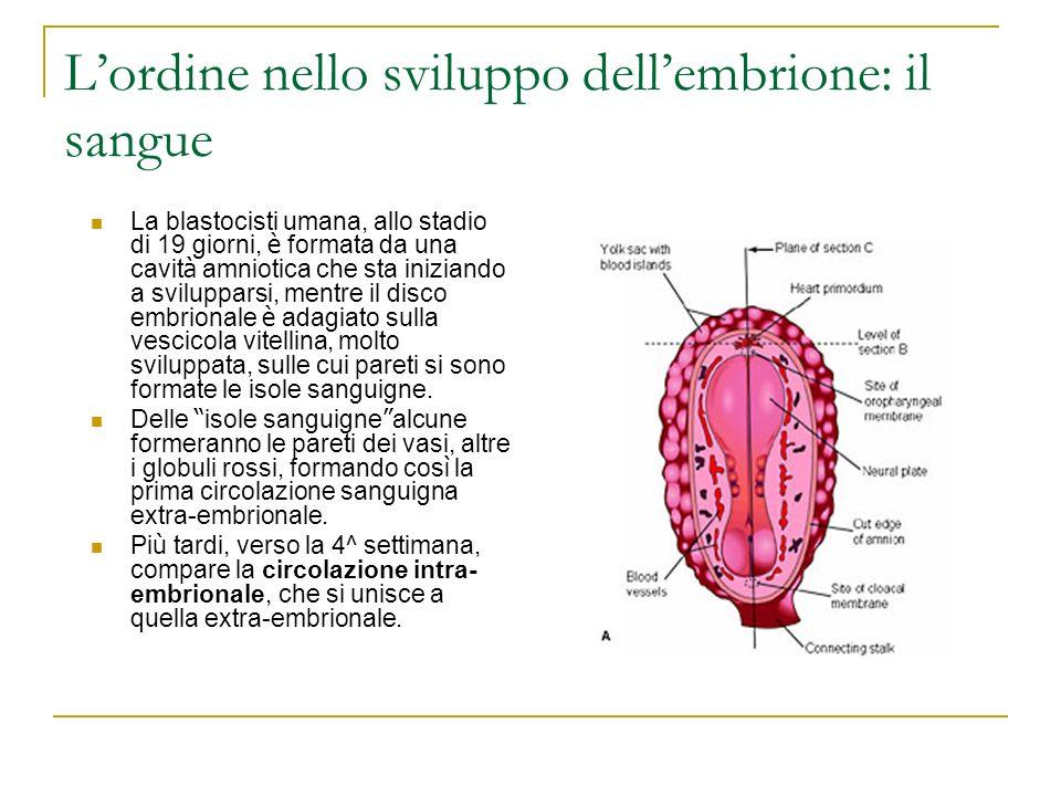 L'ordine nello sviluppo dell'embrione: il sangue