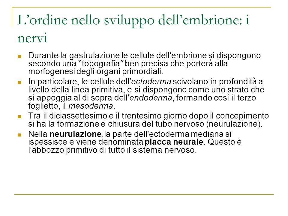 L'ordine nello sviluppo dell'embrione: i nervi