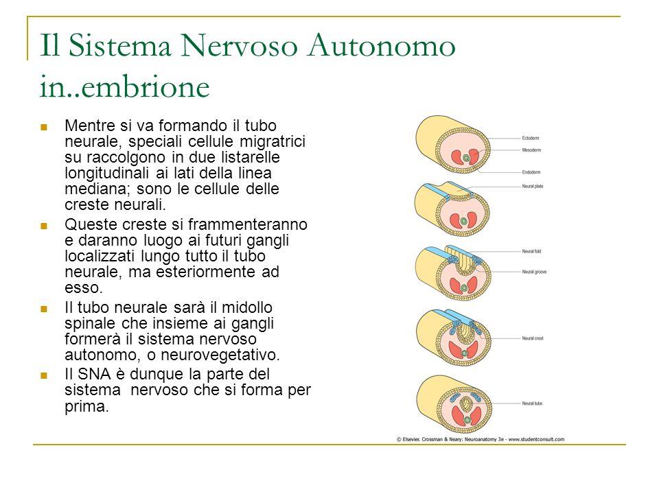 Il Sistema Nervoso Autonomo in..embrione