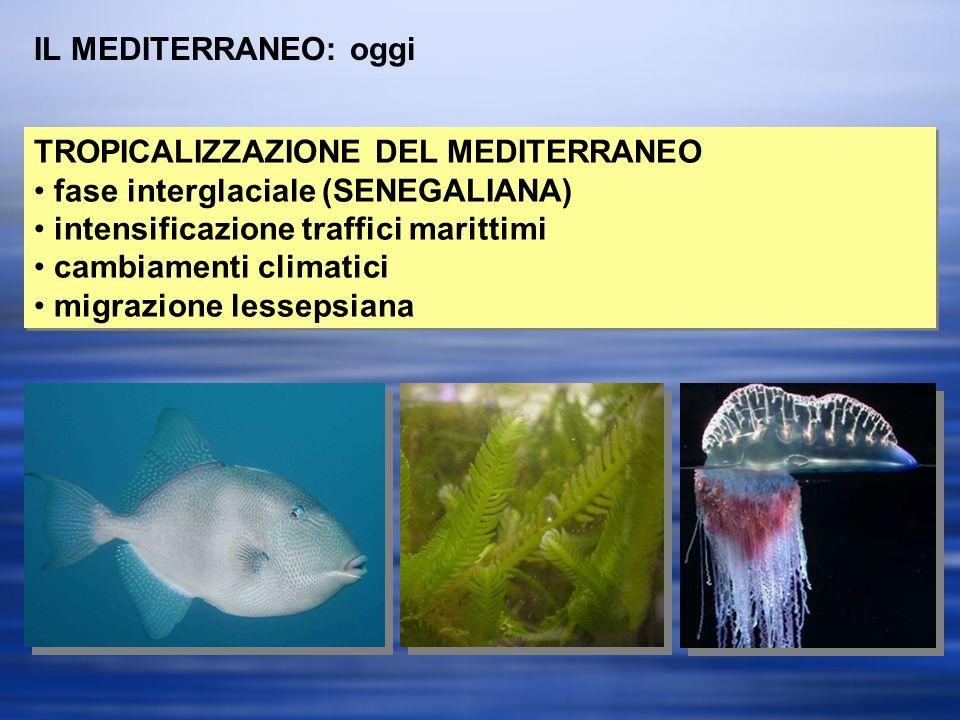 IL MEDITERRANEO: oggi TROPICALIZZAZIONE DEL MEDITERRANEO. fase interglaciale (SENEGALIANA) intensificazione traffici marittimi.