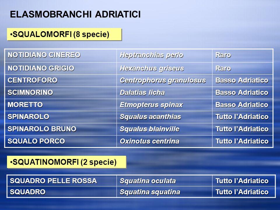 ELASMOBRANCHI ADRIATICI