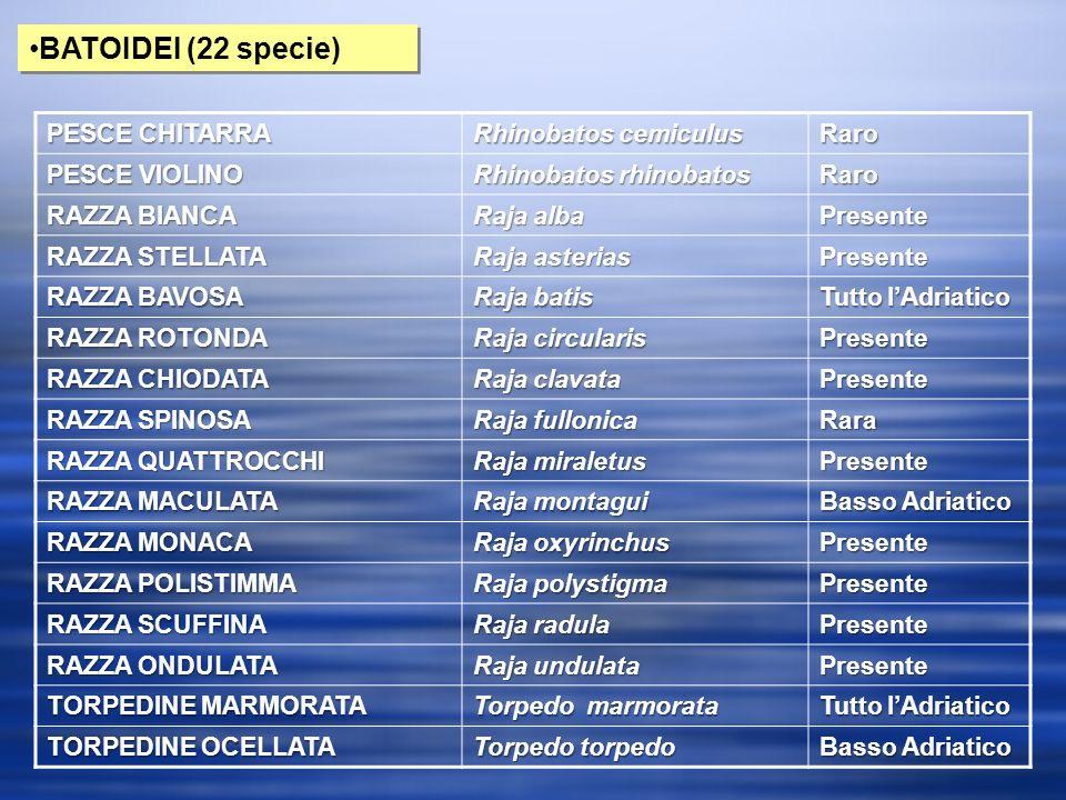BATOIDEI (22 specie) PESCE CHITARRA Rhinobatos cemiculus Raro