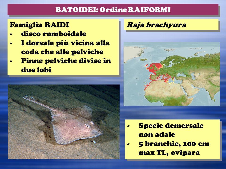 BATOIDEI: Ordine RAIFORMI