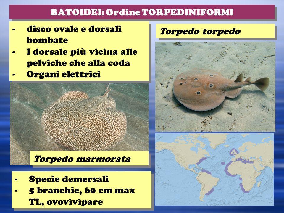 BATOIDEI: Ordine TORPEDINIFORMI