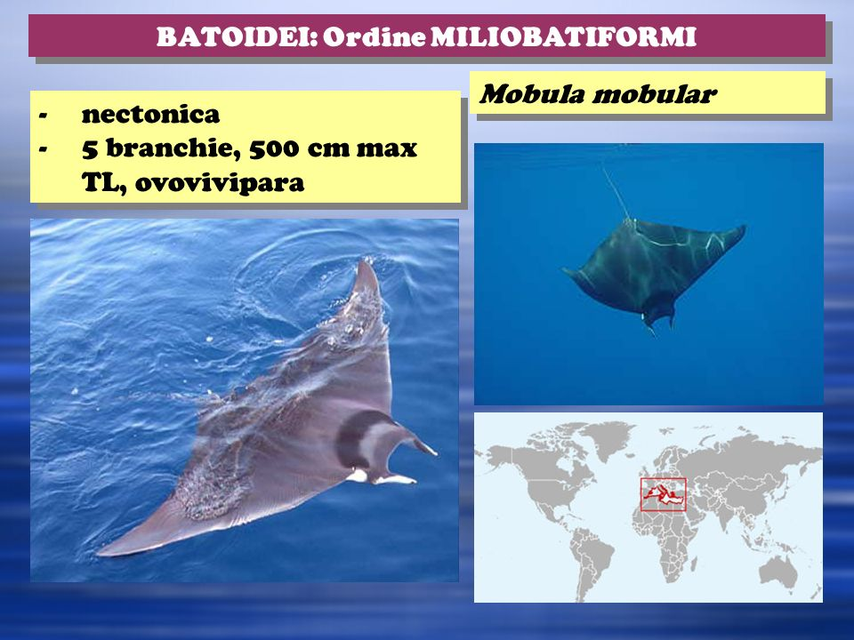 BATOIDEI: Ordine MILIOBATIFORMI