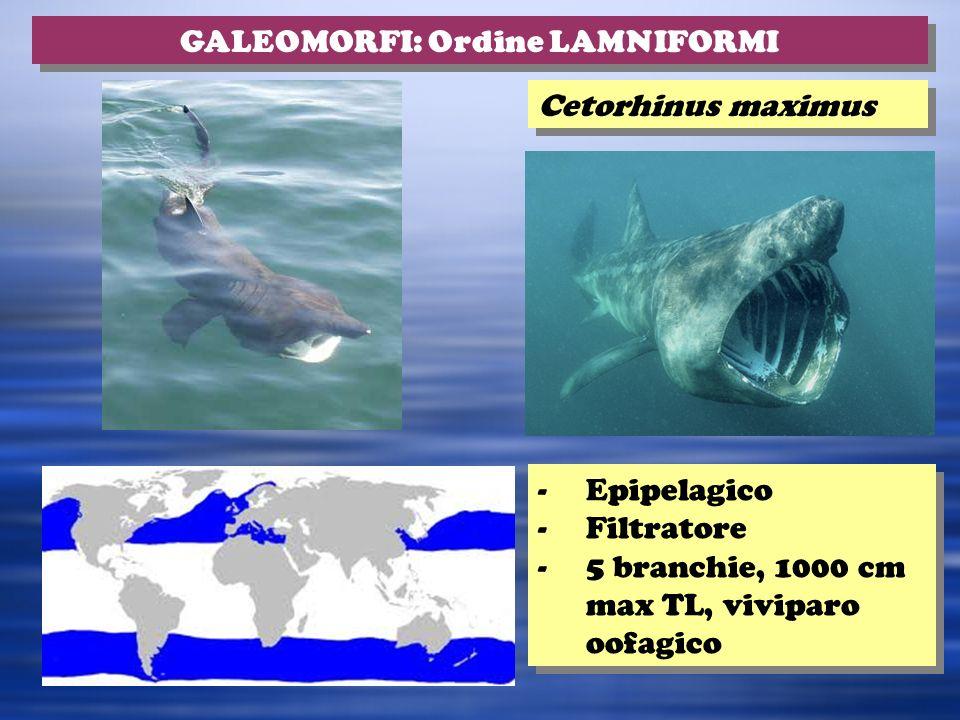 GALEOMORFI: Ordine LAMNIFORMI