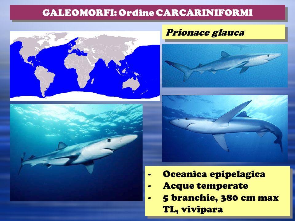 GALEOMORFI: Ordine CARCARINIFORMI