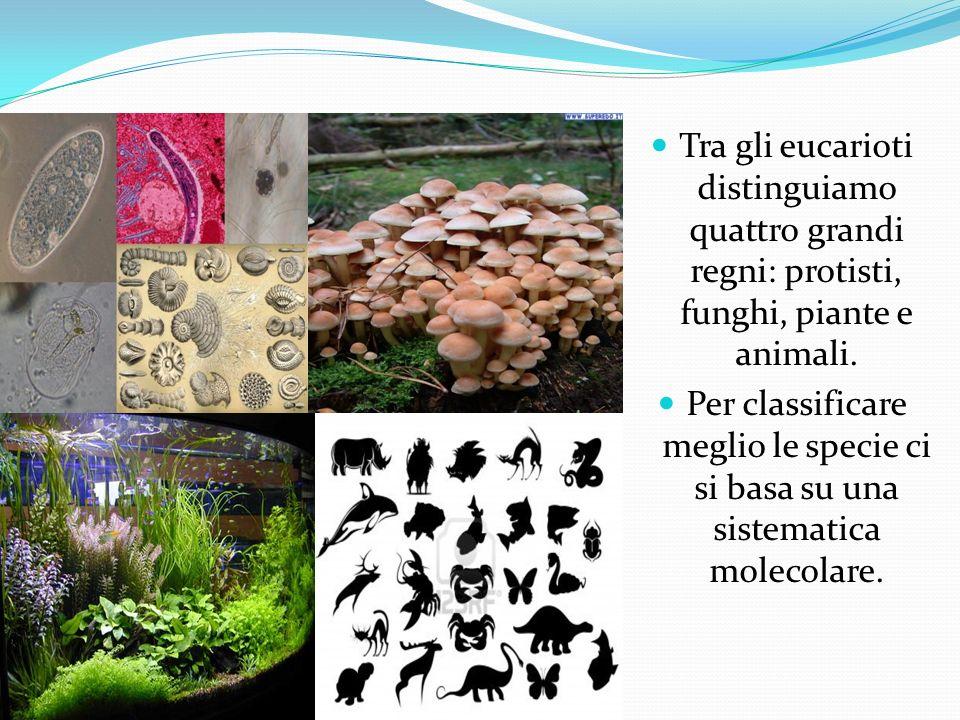 Tra gli eucarioti distinguiamo quattro grandi regni: protisti, funghi, piante e animali.