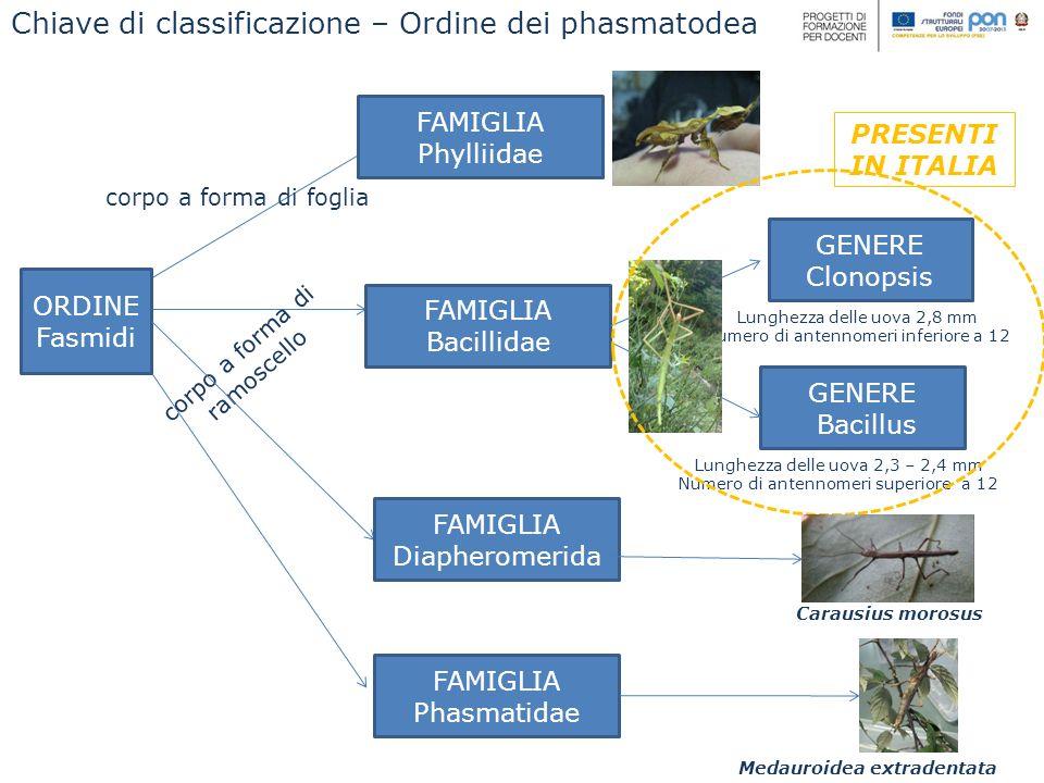 Chiave di classificazione – Ordine dei phasmatodea