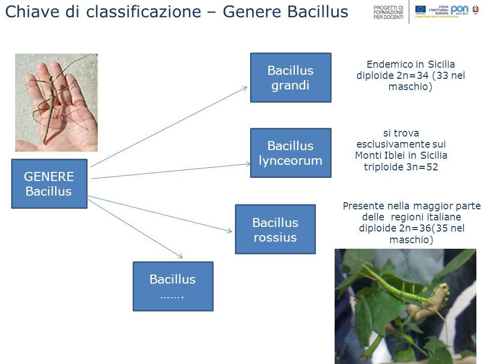 Chiave di classificazione – Genere Bacillus