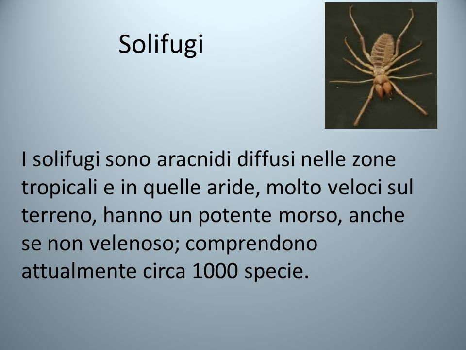 Solifugi