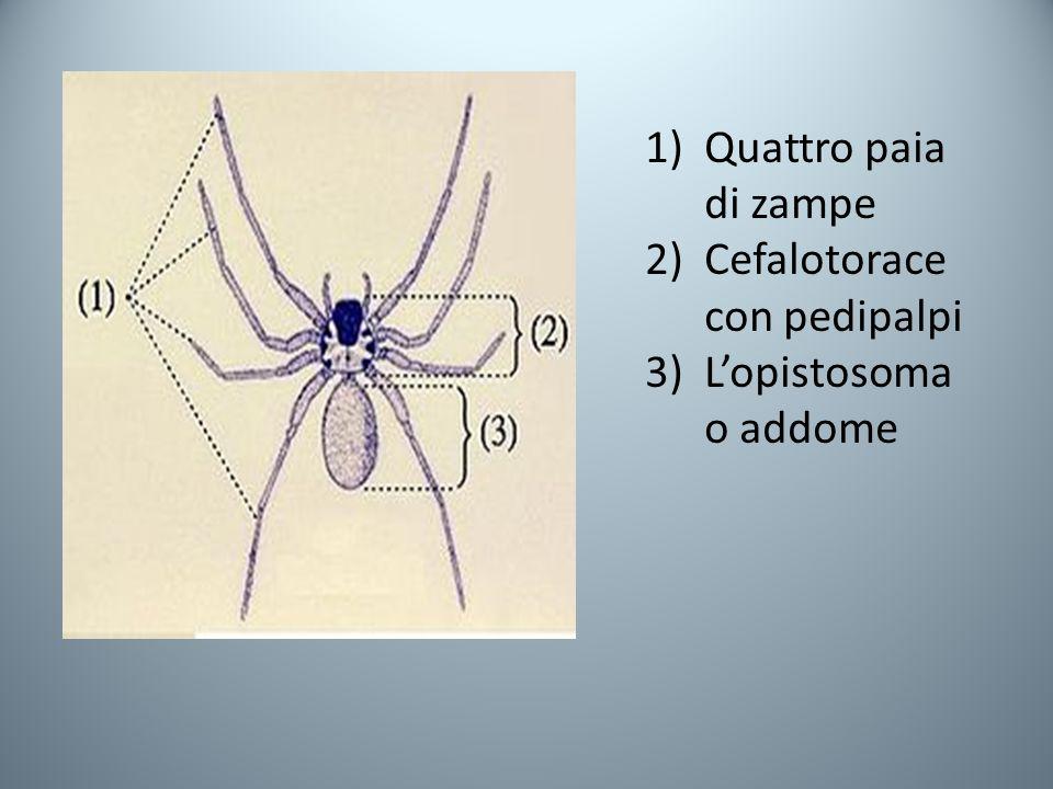 Quattro paia di zampe Cefalotorace con pedipalpi L'opistosoma o addome