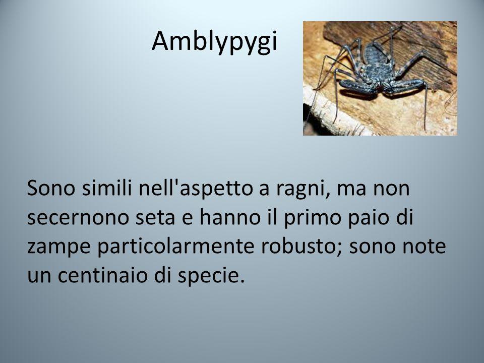 Amblypygi