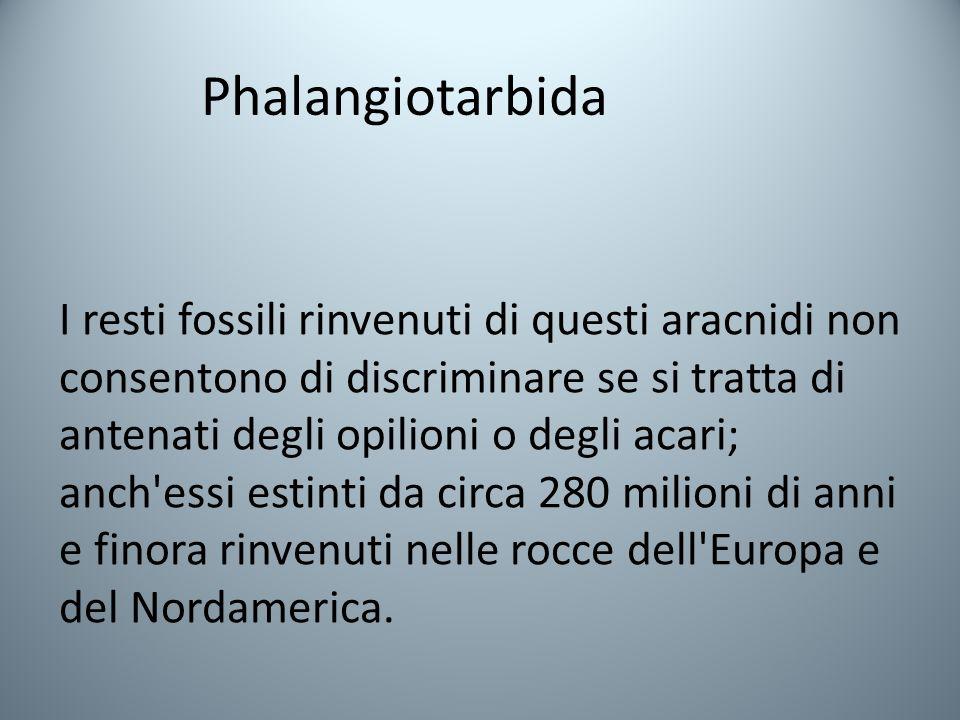 Phalangiotarbida
