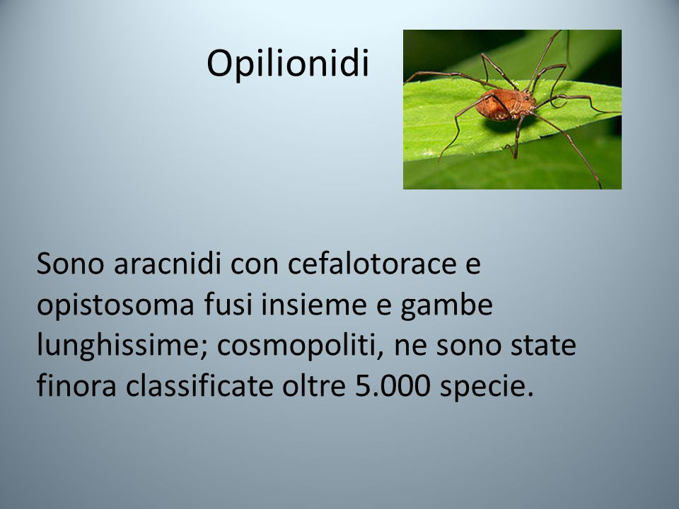 Opilionidi