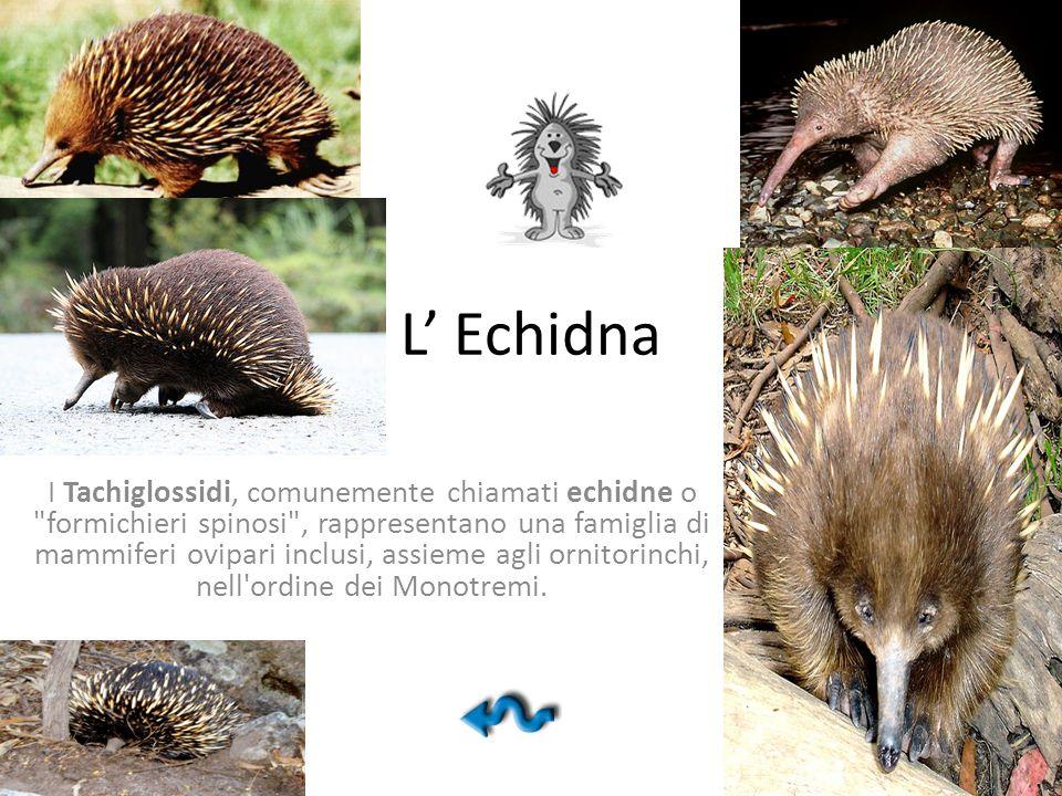 L' Echidna