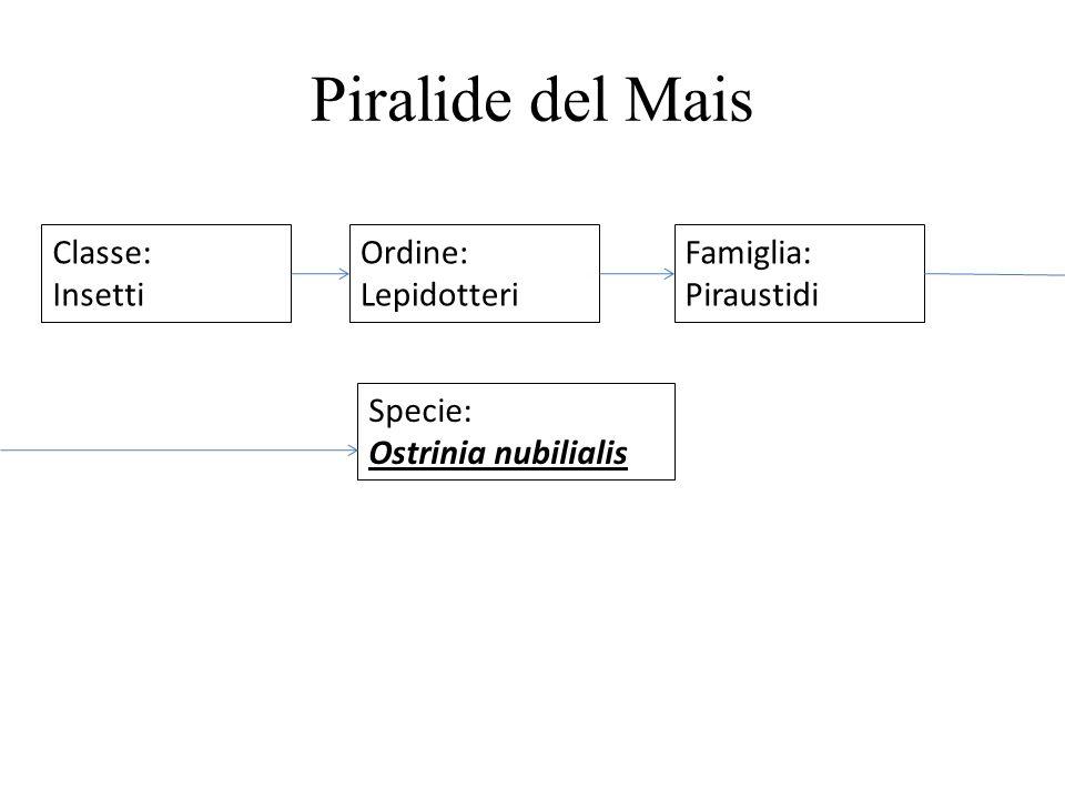 Piralide del Mais Classe: Insetti Ordine: Lepidotteri Famiglia: