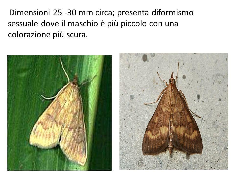 Dimensioni 25 -30 mm circa; presenta diformismo sessuale dove il maschio è più piccolo con una colorazione più scura.