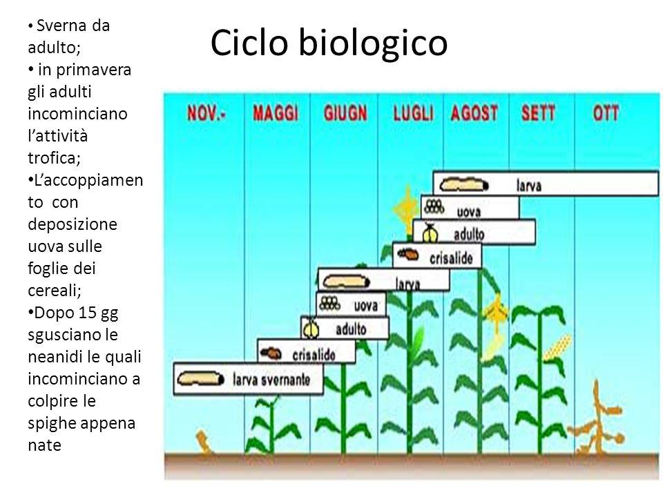 Ciclo biologico Sverna da adulto; in primavera gli adulti incominciano l'attività trofica;
