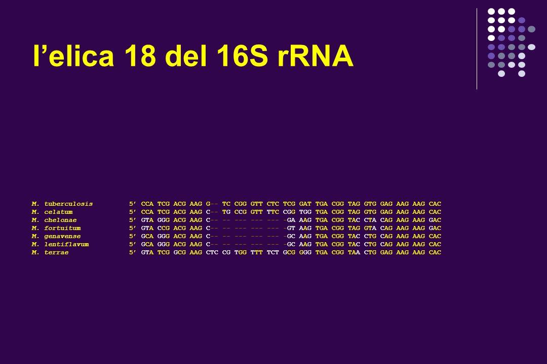 l'elica 18 del 16S rRNA M. tuberculosis 5' CCA TCG ACG AAG G-- TC CGG GTT CTC TCG GAT TGA CGG TAG GTG GAG AAG AAG CAC.