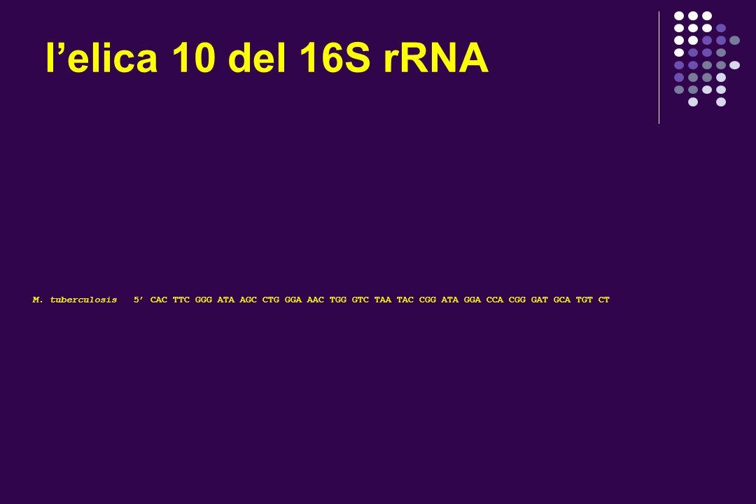 l'elica 10 del 16S rRNA M.