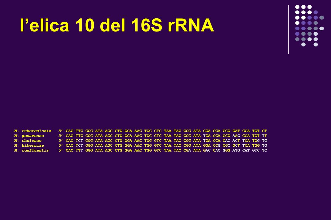 l'elica 10 del 16S rRNA M. tuberculosis 5' CAC TTC GGG ATA AGC CTG GGA AAC TGG GTC TAA TAC CGG ATA GGA CCA CGG GAT GCA TGT CT.