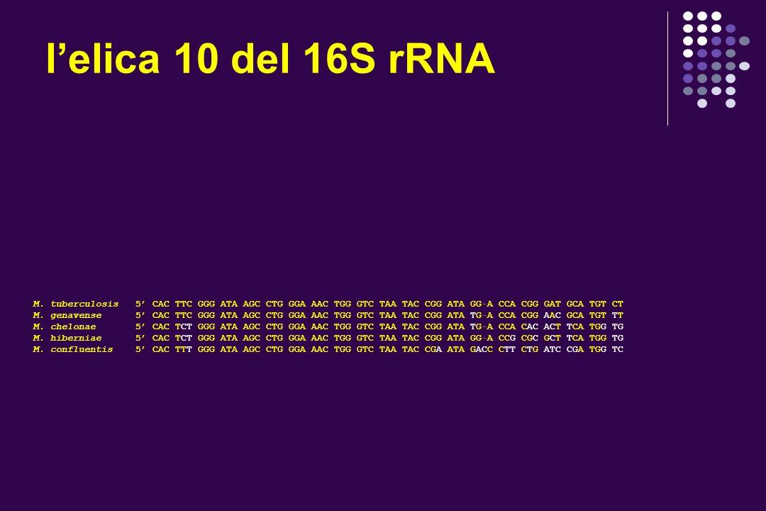 l'elica 10 del 16S rRNA M. tuberculosis 5' CAC TTC GGG ATA AGC CTG GGA AAC TGG GTC TAA TAC CGG ATA GG-A CCA CGG GAT GCA TGT CT.