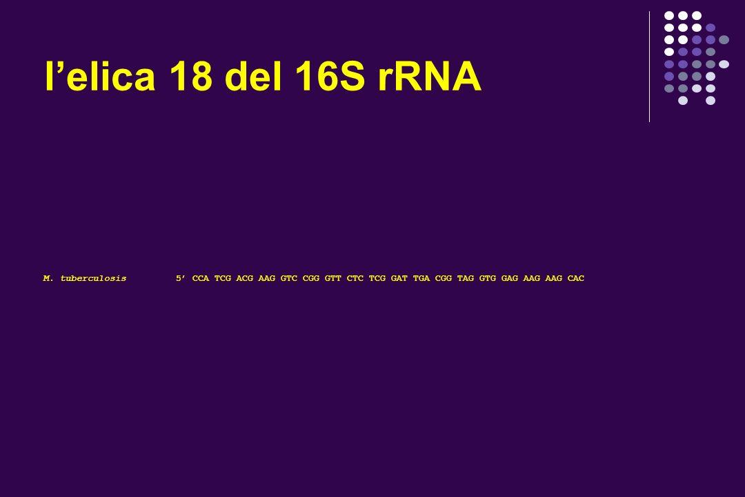 l'elica 18 del 16S rRNA M.