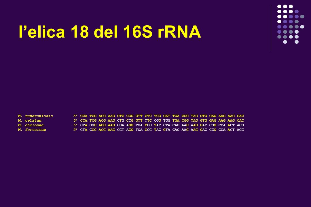 l'elica 18 del 16S rRNA M. tuberculosis 5' CCA TCG ACG AAG GTC CGG GTT CTC TCG GAT TGA CGG TAG GTG GAG AAG AAG CAC.