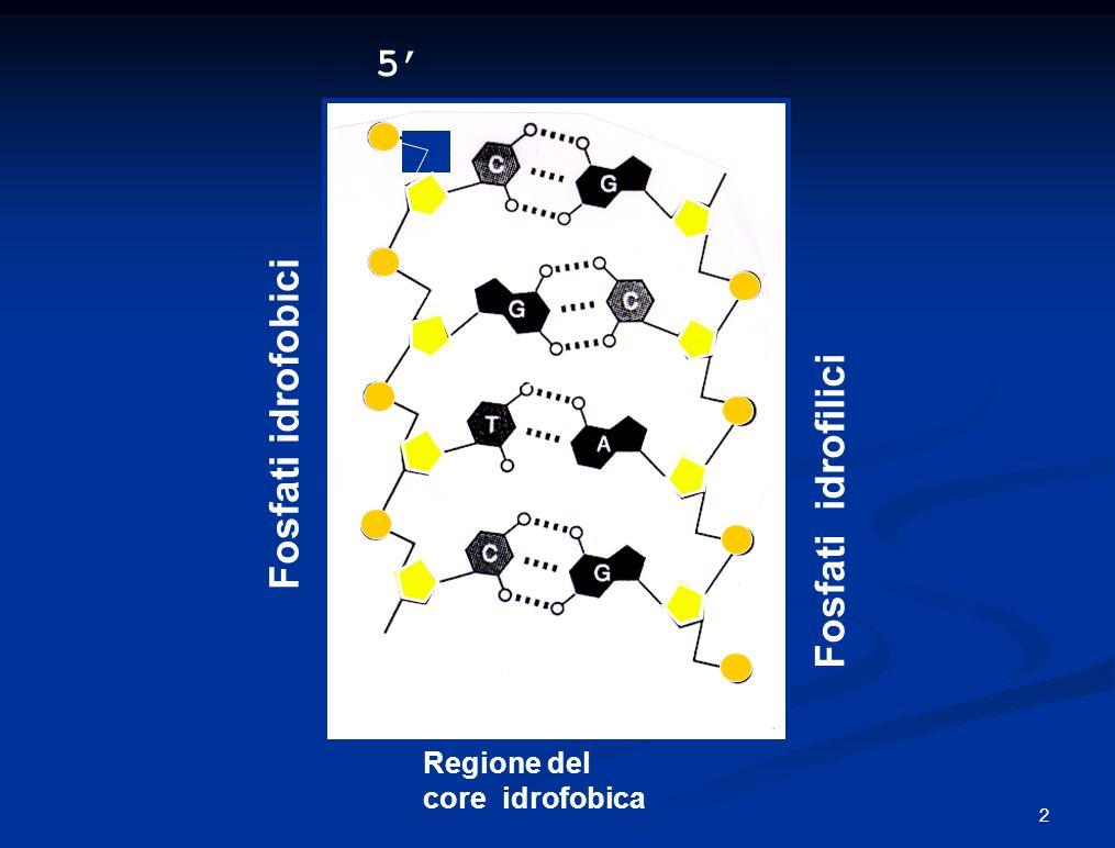 5' 3' Fosfati idrofobici Fosfati idrofilici 3' 5' Regione del