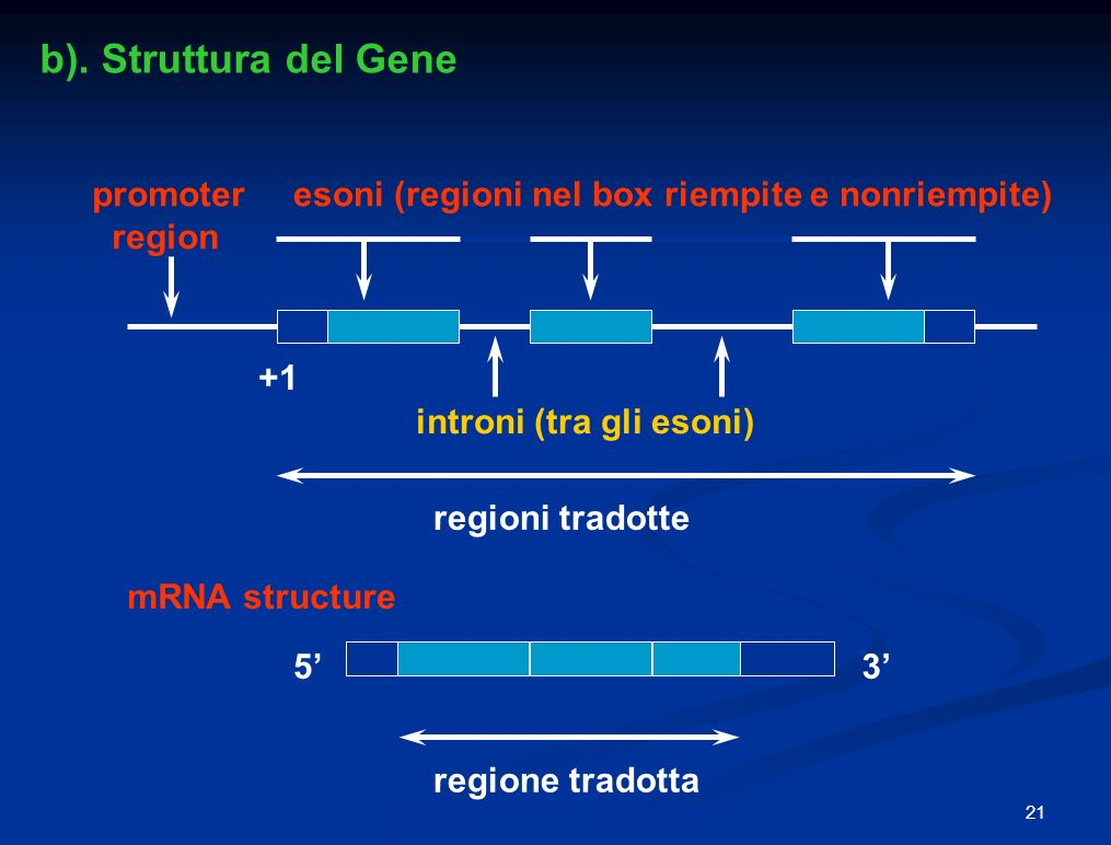 b). Struttura del Gene promoter region
