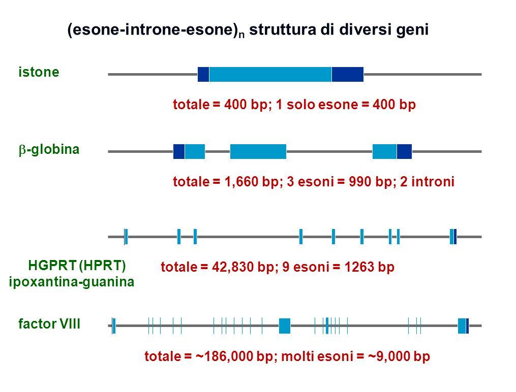(esone-introne-esone)n struttura di diversi geni