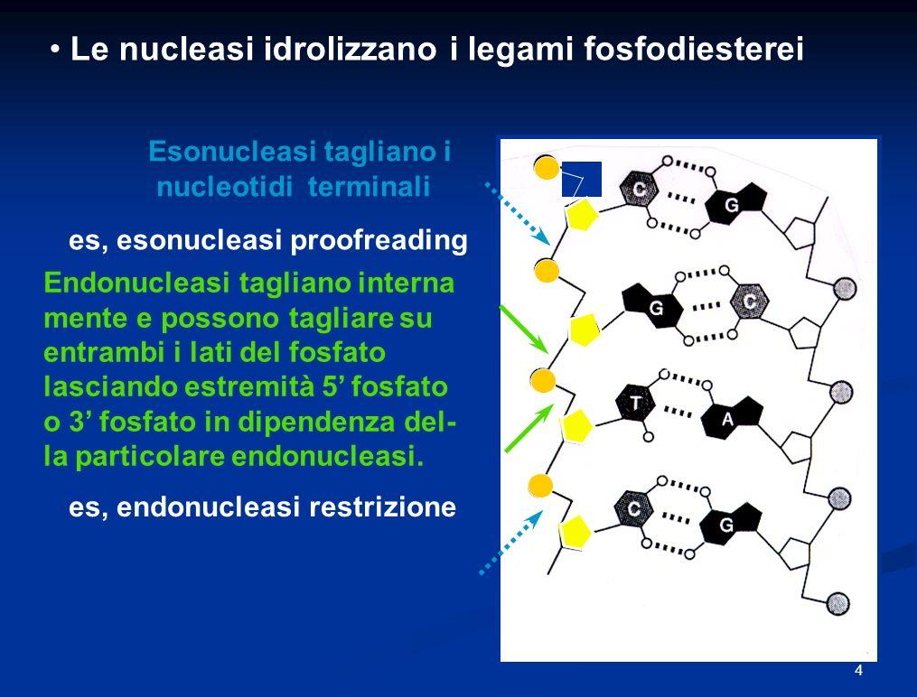 Le nucleasi idrolizzano i legami fosfodiesterei