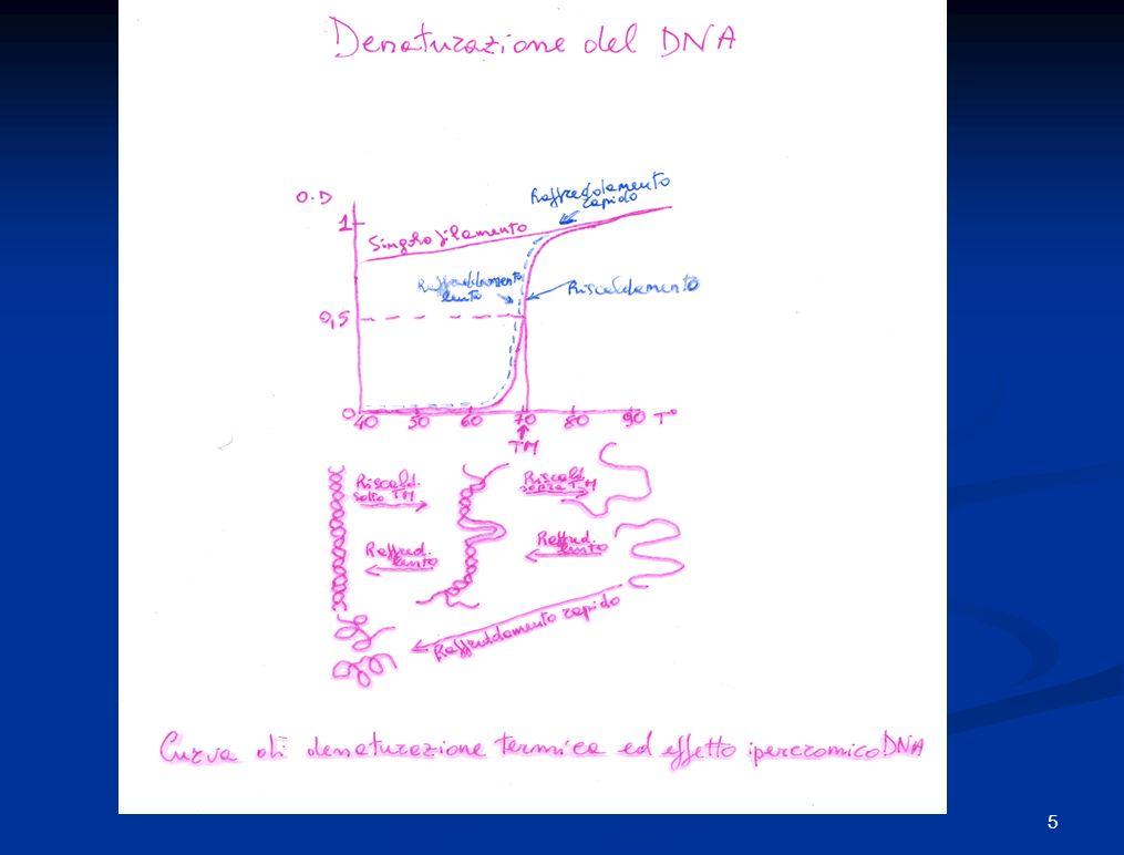 Poiché la coppia CG è unita da 3 legami ad idrogeno, il punto di fusione cioè la temp.alla quale metà del campione di DNA non è legato da legami idrogeno è proporzionale al contenuto di CG.