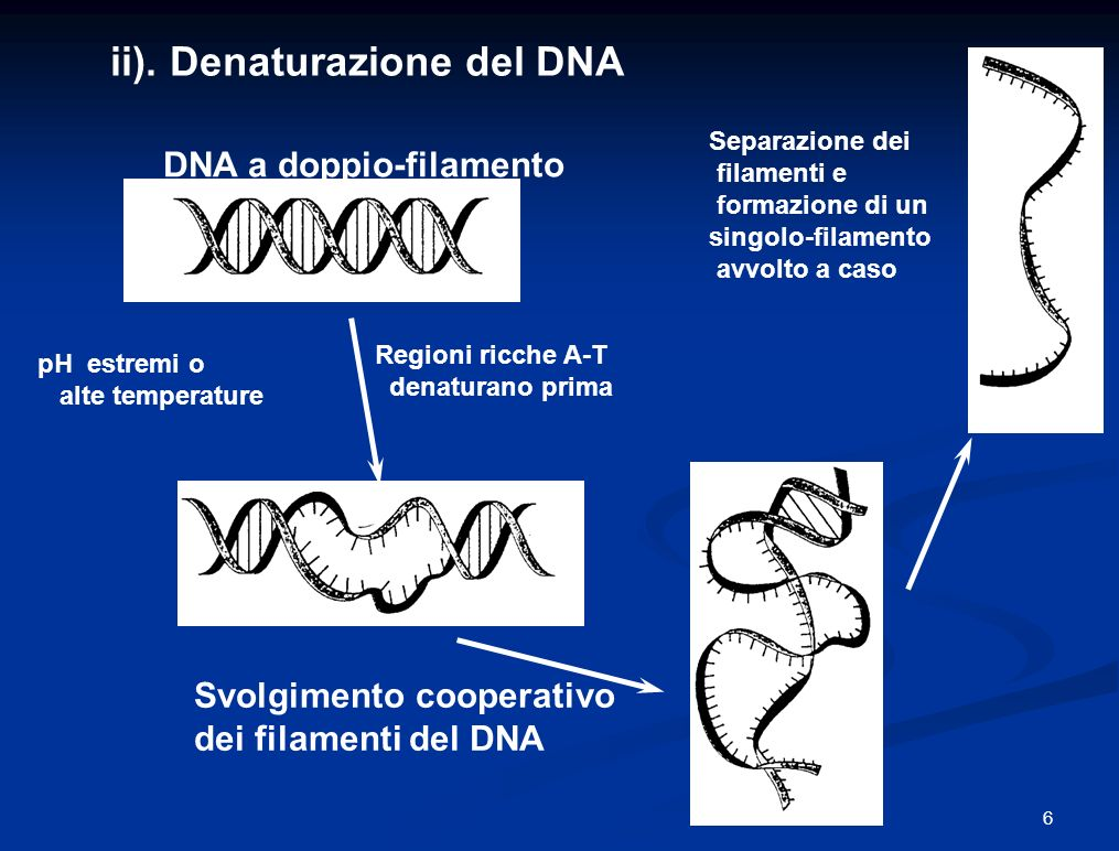 ii). Denaturazione del DNA