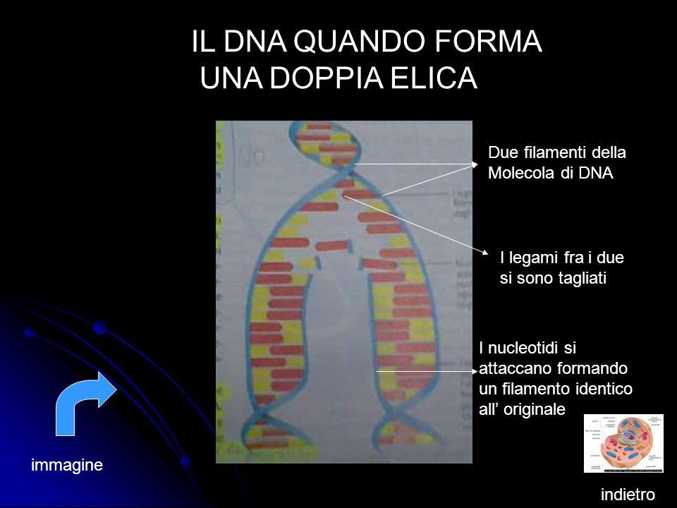 IL DNA QUANDO FORMA UNA DOPPIA ELICA Due filamenti della