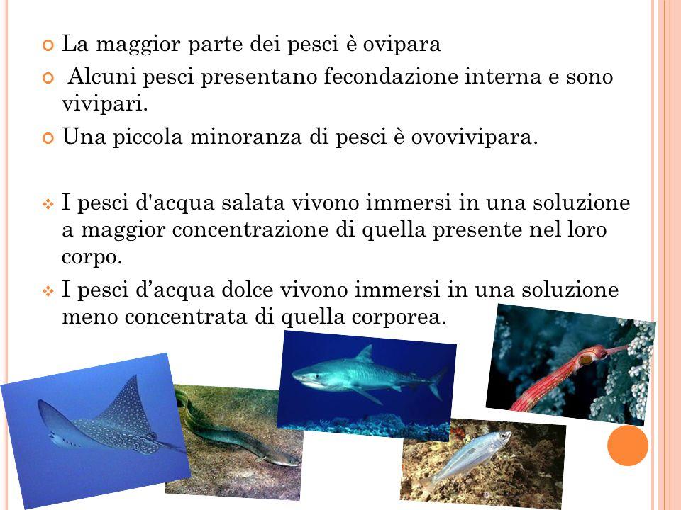 La maggior parte dei pesci è ovipara
