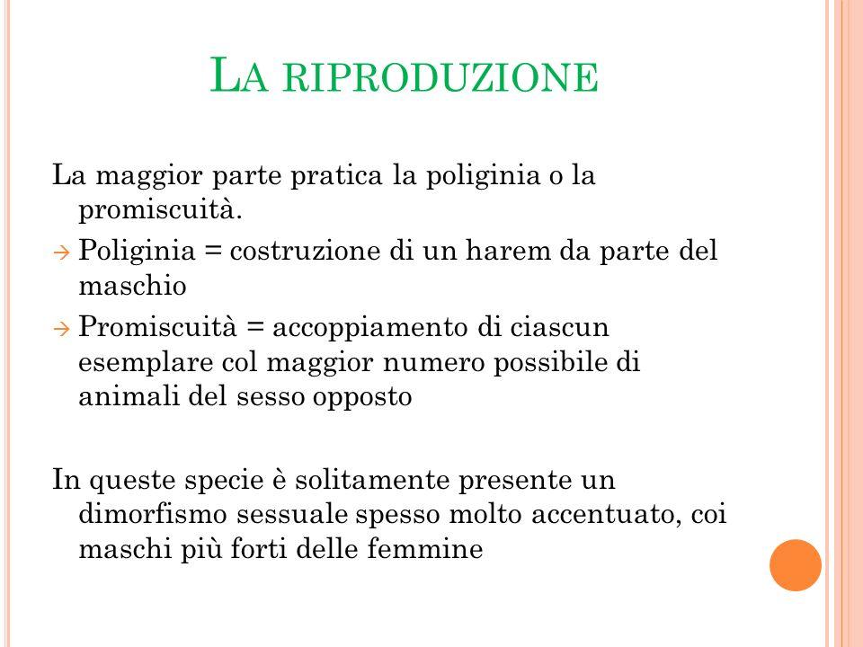 La riproduzione La maggior parte pratica la poliginia o la promiscuità. Poliginia = costruzione di un harem da parte del maschio.