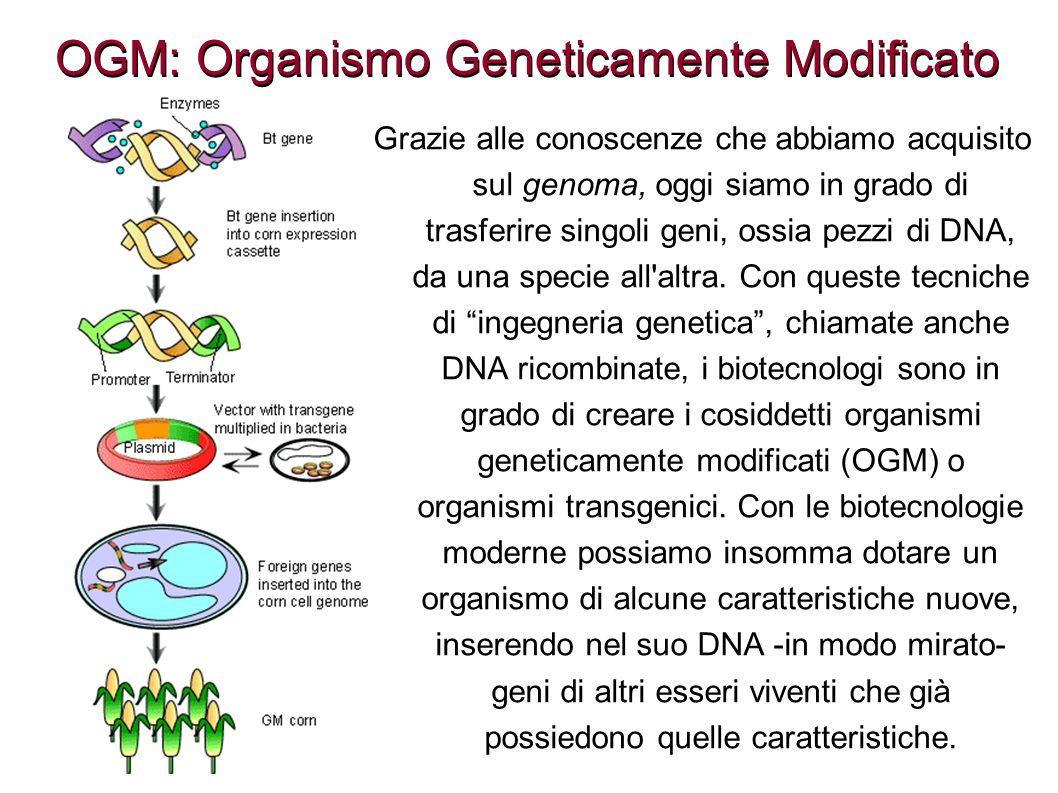 OGM: Organismo Geneticamente Modificato