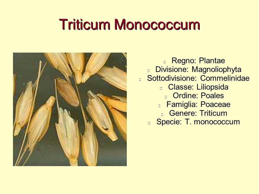 Triticum Monococcum Regno: Plantae Divisione: Magnoliophyta