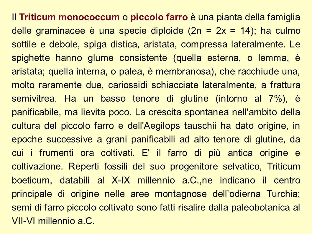 Il Triticum monococcum o piccolo farro è una pianta della famiglia delle graminacee è una specie diploide (2n = 2x = 14); ha culmo sottile e debole, spiga distica, aristata, compressa lateralmente.