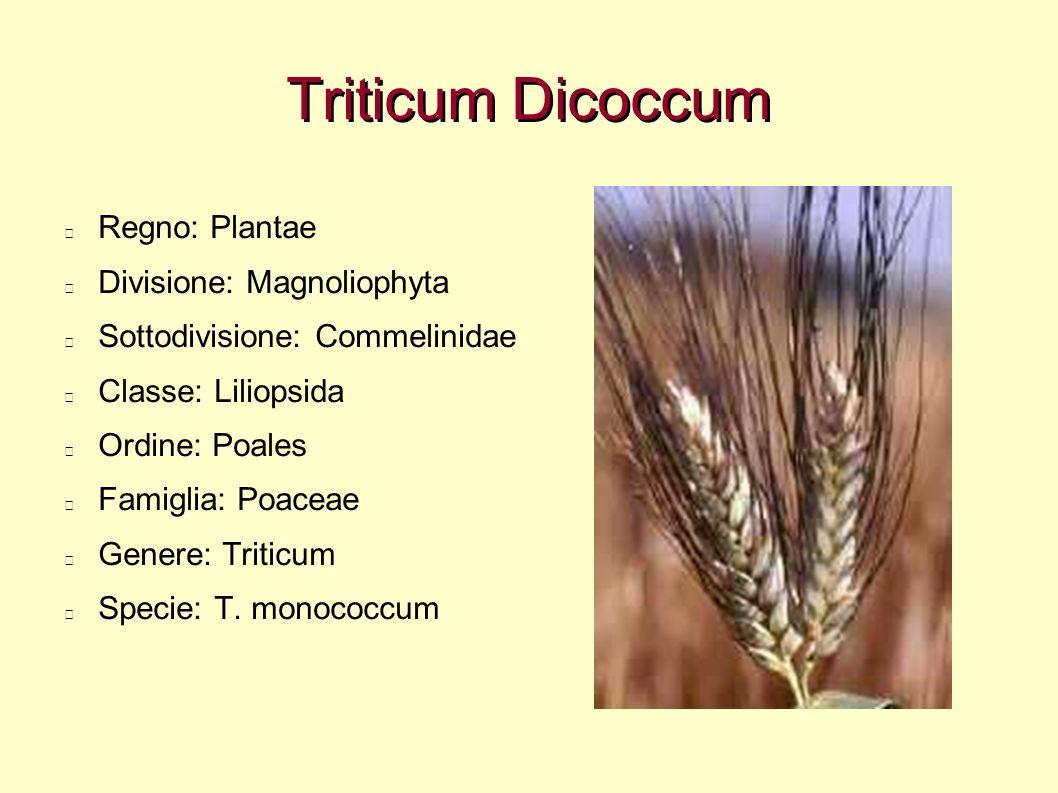 Triticum Dicoccum Regno: Plantae Divisione: Magnoliophyta