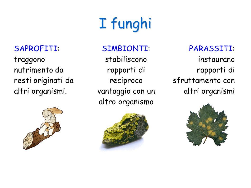 I funghi SAPROFITI: traggono nutrimento da resti originati da altri organismi.